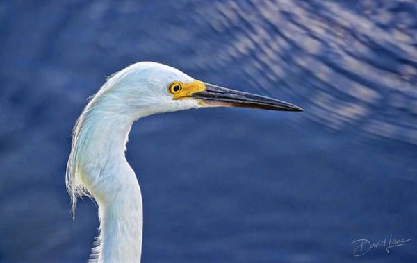 Photograph - Snowy Egret Head by David A Lane