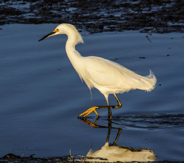Photograph - Snowy Egret Hunting by Brian Tada