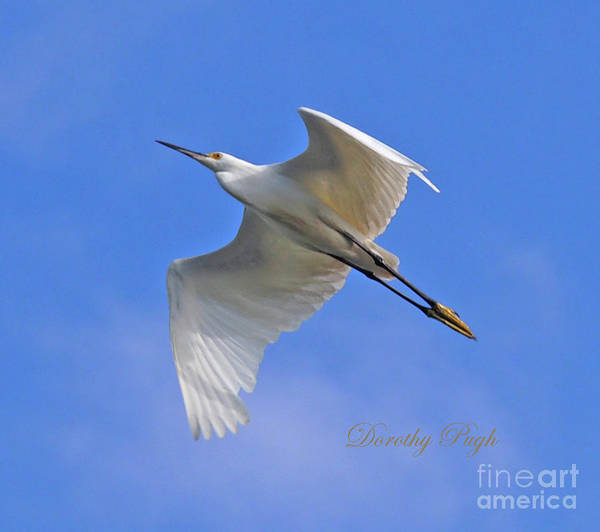 Photograph - Snowy Egret In Flight by Dorothy Pugh