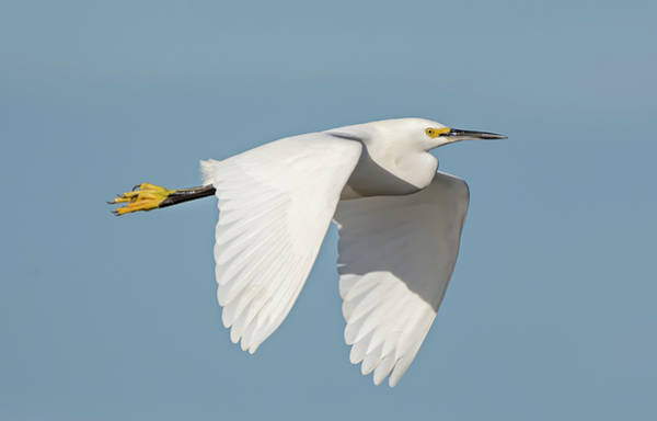 Photograph - Snowy Egret In Flight by Loree Johnson