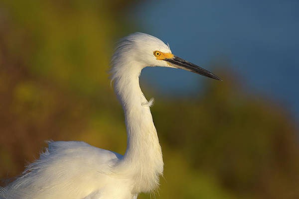 Snowy Egret In The Wind Art Print