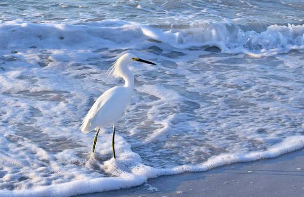 Photograph - Snowy Egret by Larah McElroy