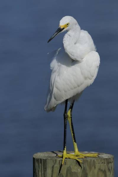Photograph - Snowy Egret Looking Over Wing by Bradford Martin