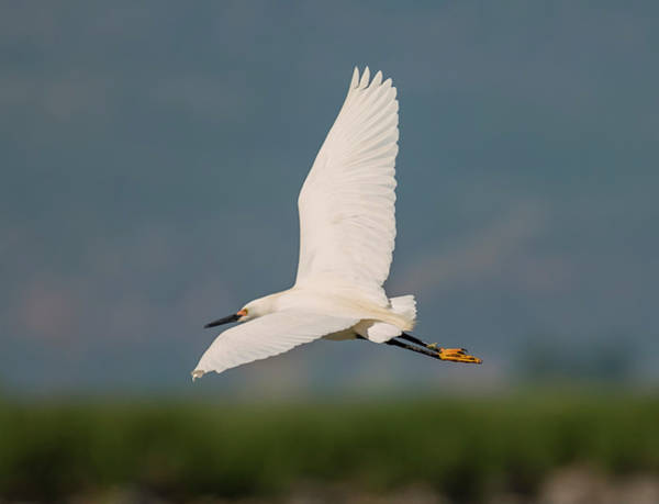 Photograph - Snowy Egret by Loree Johnson