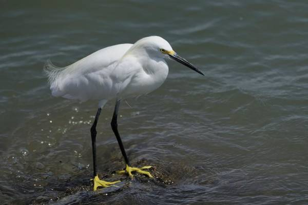 Photograph - Snowy Egret On Rock by Bradford Martin