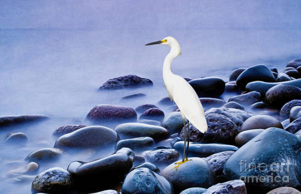 Egret Photograph - Snowy Egret On The Rocks by Laura D Young