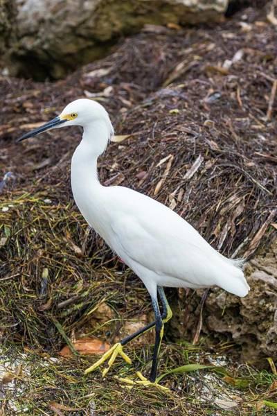 Photograph - Snowy Egret by Paul Schultz