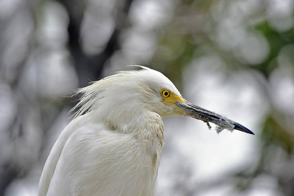 Wall Art - Photograph - Snowy Egret Portrait 1 by Linda Brody