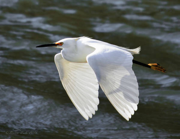 Photograph - Snowy Egret Soaring by Brian Tada