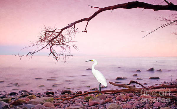 Egret Photograph - Snowy Egret Solitude by Laura D Young