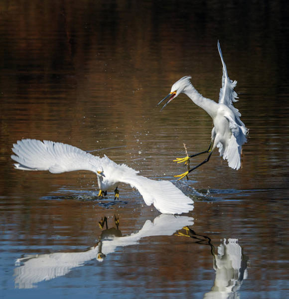 Photograph - Snowy Egrets Chase 5554-020218-1cr by Tam Ryan