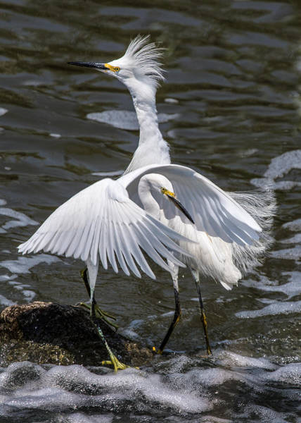 Wall Art - Photograph - Snowy Egrets by Dawn Key