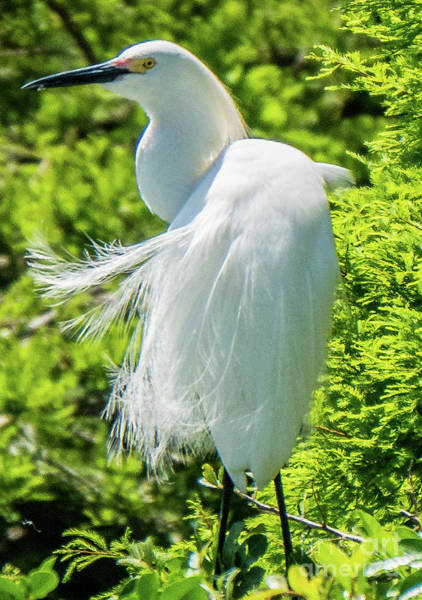 Photograph - Snowy Egret's Feathers Blowing by Vincent Billotto