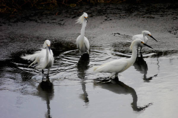 Photograph - Snowy Egrets I by Jane Melgaard