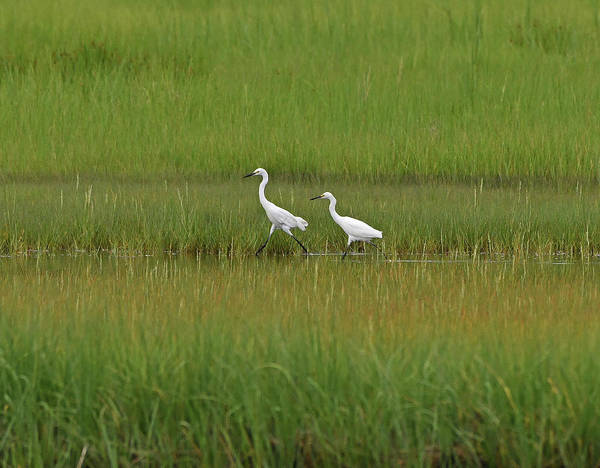 Photograph - Snowy Egrets by Ken Stampfer