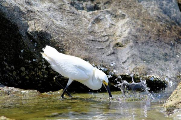 Photograph - Snowy Egrets Splash by Carol Montoya
