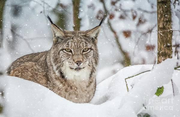 Snowy Lynx Art Print
