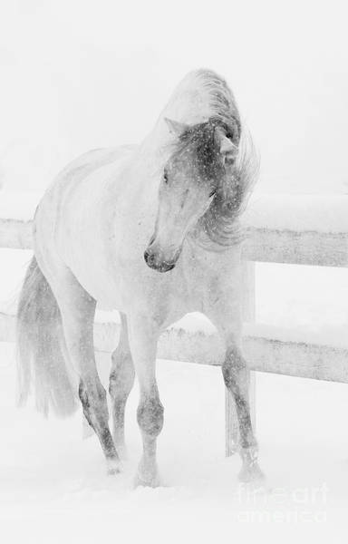 Andalusian Wall Art - Photograph - Snowy Mare Shakes Her Head by Carol Walker