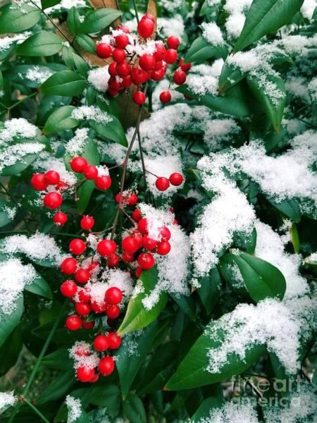 Photograph - Snowy Nandina by Rachel Hannah