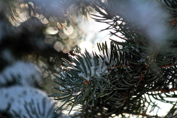 Photograph - Snowy Needles by Ann E Robson