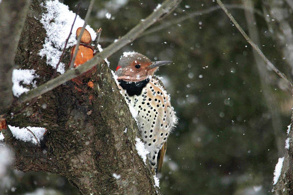 Photograph - Snowy Northern Flicker by Trina Ansel