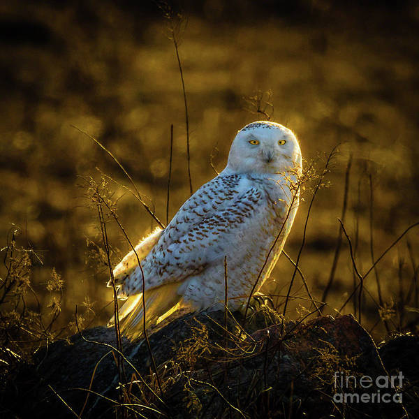 Photograph - Snowy Owl 2 by Roger Monahan