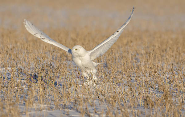Photograph - Snowy Owl 2016-1 by Thomas Young