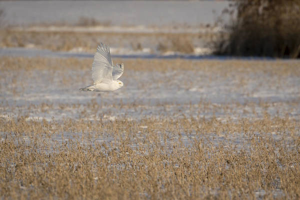 Photograph - Snowy Owl 2016-13 by Thomas Young
