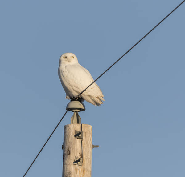 Photograph - Snowy Owl 2016-14 by Thomas Young