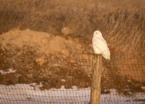Photograph - Snowy Owl 2016-15 by Thomas Young