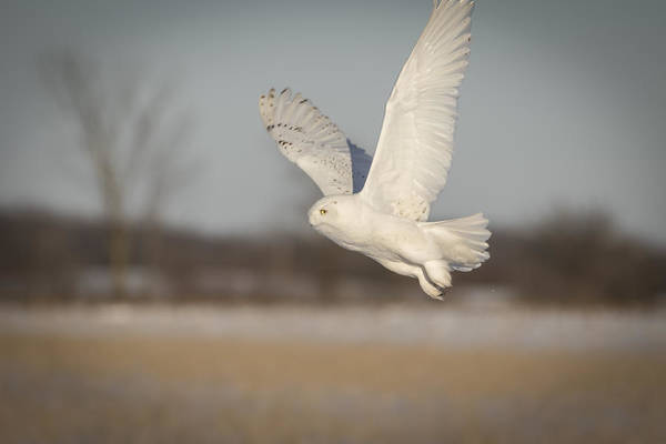 Photograph - Snowy Owl 2016-2 by Thomas Young
