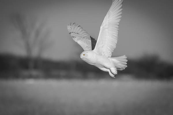 Photograph - Snowy Owl 2016-3 by Thomas Young