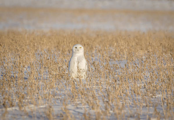 Photograph - Snowy Owl 2016-4 by Thomas Young
