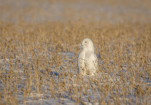 Photograph - Snowy Owl 2016-5 by Thomas Young