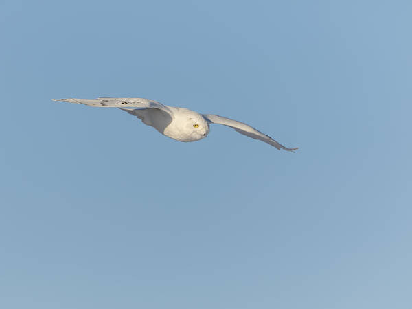 Photograph - Snowy Owl 2016-6 by Thomas Young