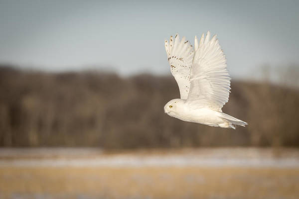 Photograph - Snowy Owl 2016-7 by Thomas Young