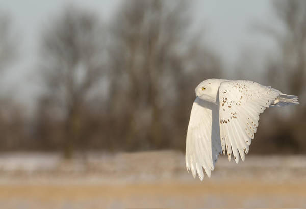 Photograph - Snowy Owl 2016-8 by Thomas Young