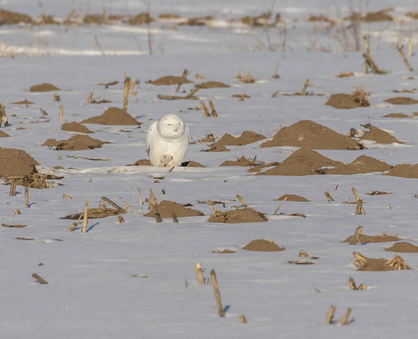 Photograph - Snowy Owl 2016-9 by Thomas Young