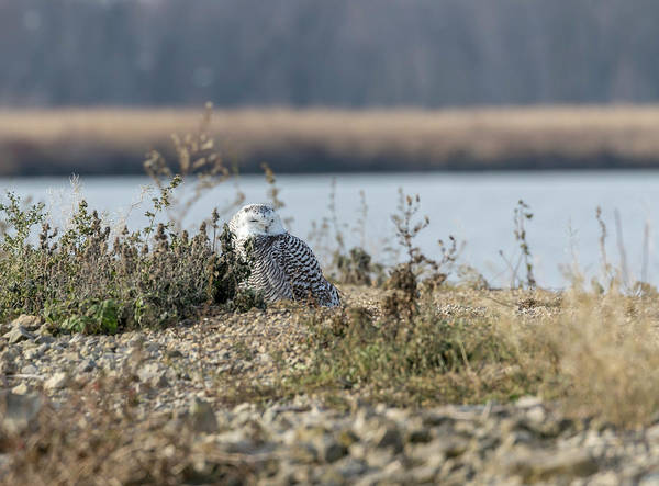 Photograph - Snowy Owl 2017-1 by Thomas Young