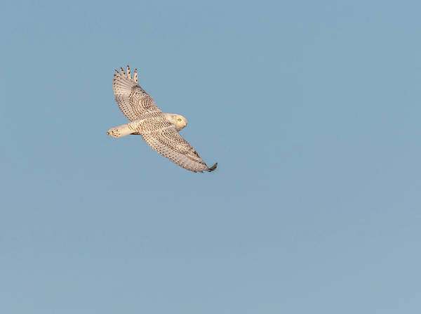 Photograph - Snowy Owl 2018-1 by Thomas Young