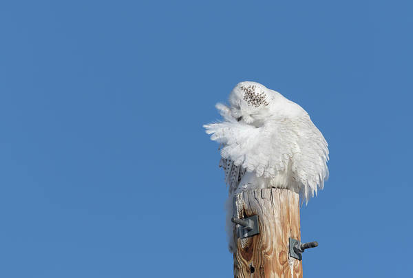 Photograph - Snowy Owl 2018-13 by Thomas Young