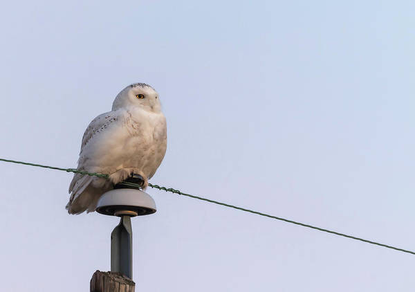 Photograph - Snowy Owl 2018-14 by Thomas Young