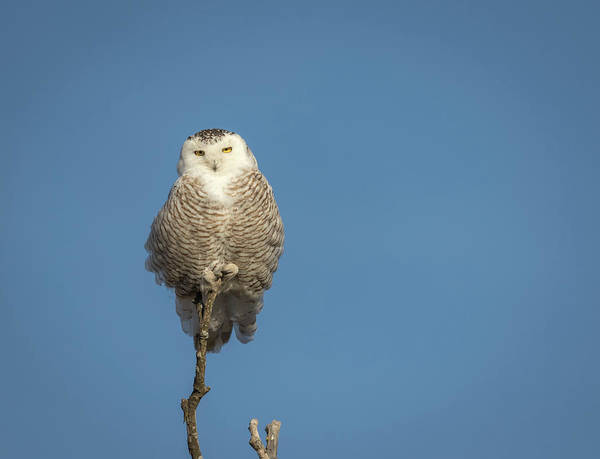 Photograph - Snowy Owl 2018-16 by Thomas Young
