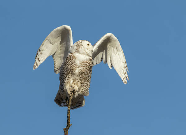 Photograph - Snowy Owl 2018-17 by Thomas Young