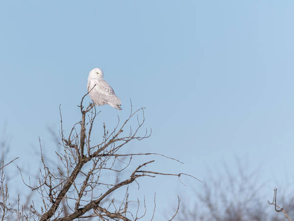 Photograph - Snowy Owl 2018-18 by Thomas Young