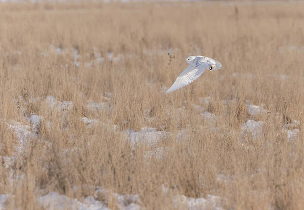 Photograph - Snowy Owl 2018-19 by Thomas Young