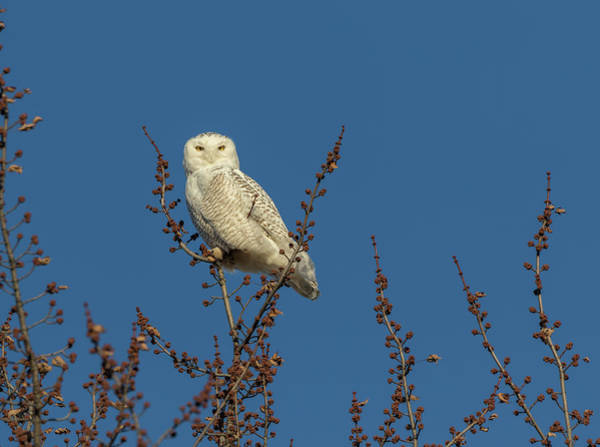 Photograph - Snowy Owl 2018-2 by Thomas Young