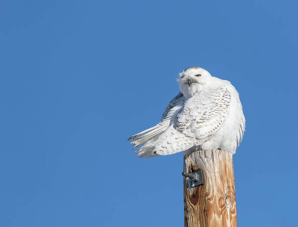 Photograph - Snowy Owl 2018-21 by Thomas Young