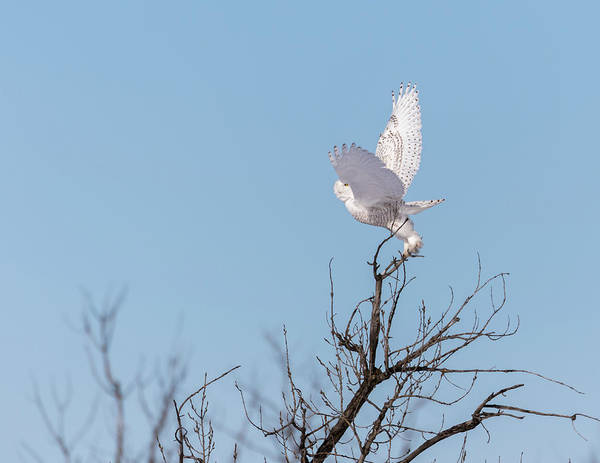 Photograph - Snowy Owl 2018-4 by Thomas Young