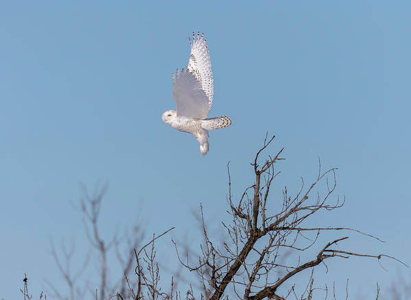 Photograph - Snowy Owl 2018-5 by Thomas Young